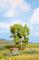 Noch 21600 Birnbaum grün