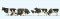 Preiser 10145 Kühe, schwarz gefleckt